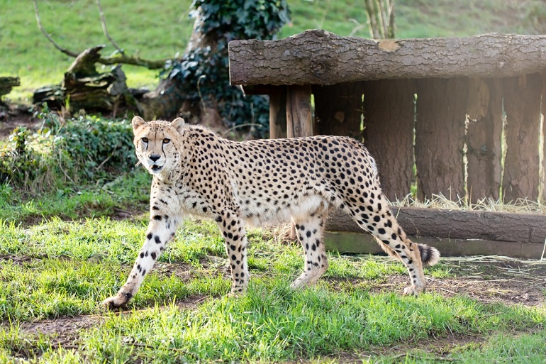 PZ Cheetah Kitwana