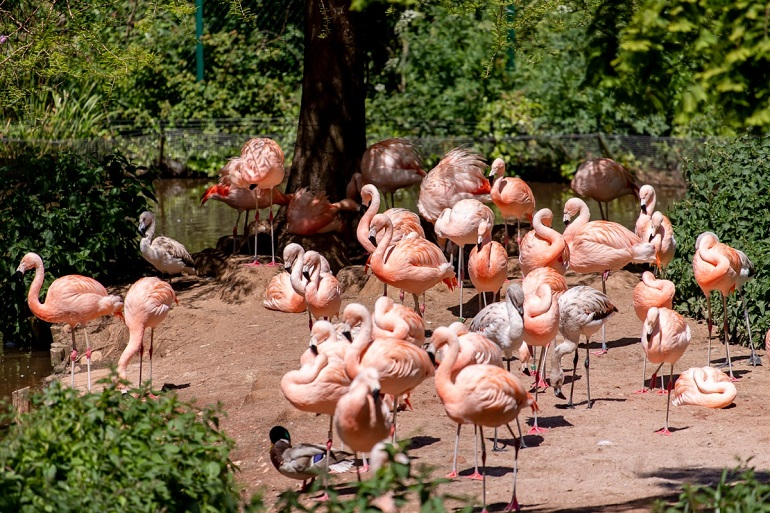 PZ Chilean Flamingos