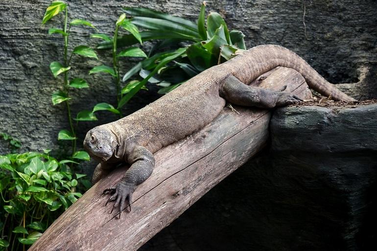 PZ Komodo Dragon