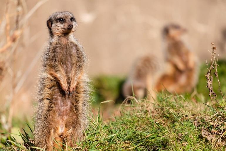 PZ Meerkats In Sun