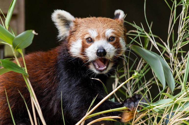 PZ Red Panda Ember
