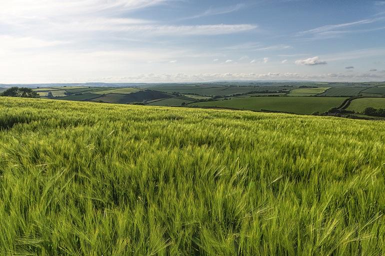 Barley field somewhere between Beesands and East Prawle web