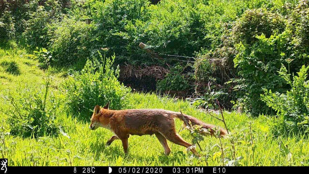Sharpham Trust Ambios camera trap fox 4