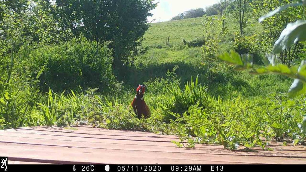 Sharpham Trust Ambios camera trap pheasant