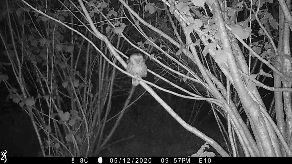 Sharpham Trust Ambios camera trap tawny owl